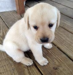 Lonely Labrador Retriever puppy