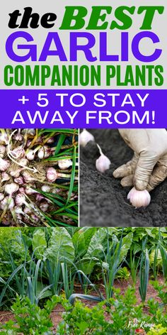 Are you planting garlic this fall? Learn how to use it as a companion plant and which crops are the best companion plants for garlic! This list includes using garlic for pest control, good companions for garlic and bad companions to plant away from your garlic rows Vegetable Garden For Beginners, Backyard Vegetable Gardens, Gardening For Beginners, Gardening Tips, Garlic Companion Plants, Companion Planting, Growing Herbs, Growing Vegetables, Planting Garlic