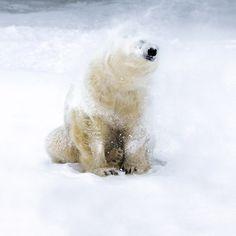 Polar Bears, In This World, Swarovski, Blog, Animals, Outdoor, Outdoors, Animales, Animaux