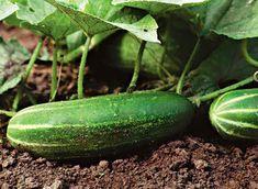 BUDOWAPLUS.PL - Uprawa ogórków Fruit Trees, Dream Garden, Cucumber, Vegetables, Anna, Gardening, Calendar, Veggies, Lawn And Garden