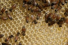 Light therapy offers protection to honey bees exposed to neonicotinoid pesticides, according to new research from University College London.