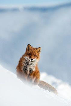 red fox on a snow drift