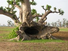 a tree cave!