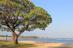 WEBSTA @ ayodyabali - Beautiful tree at Ayodya Resort Bali.#ayodyaresortbali #ayodyabali #nusadua #bali #indonesianheritagehotel #beachfront #AyodyaWeekenders #ayodyabalihotel #iloveayodyabali