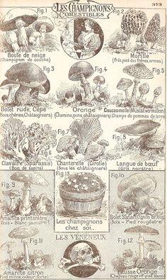Champignons comestibles et vénéneux
