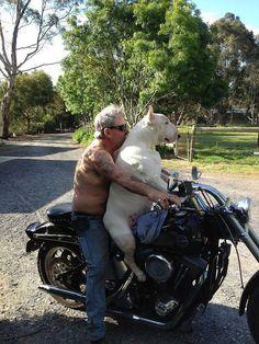 bull terrier tearing it up .... Dear Gooood, I love this!!