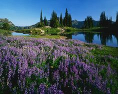 Image for Lupine and Alpin Tarn