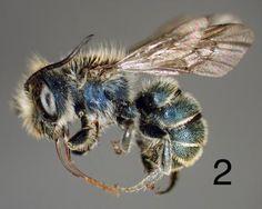 Osmia aliciae (male)  Type