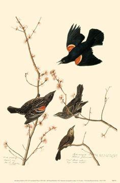 Red-winged blackbird <3