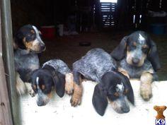 Bluetick Coonhound Puppies