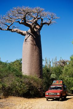 Emmy DE * Adansonia grandidieri , sometimes known as Grandidier's baobab, Madagascar