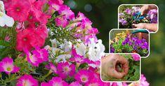 Уход за петуниями не займет много сил и времени, и вы сможете еще долго наслаждаться цветением любимых растений.