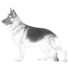 German Shepherd Dog Breed Standard Illustration - ONE OF MY FAVOURITE BREEDS. - The first impression of a good German Shepherd Dog is that of a strong, agile, well muscled animal, alert and full of life. Animal Sketches, Animal Drawings, Dog Sketches, Dog Drawings, Drawing Sketches, Pencil Drawings, Vintage Ski Posters, Vintage Comics, Puppy Coloring Pages