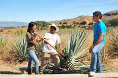 Have you ever harvested an agave plant? This task is known as JIMA