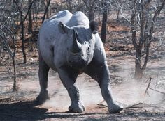 Kenya Wildlife Service on high alert following spate of poaching incidents. http://www.iol.co.za/news/africa/kenya-wildlife-service-on-high-alert-following-spate-of-poaching-incidents-7349270  Learn more about rhino conservation. VIsit us on Facebook:  https://www.facebook.com/HelpingRhinos/