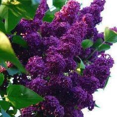 Love mauve Lilacs