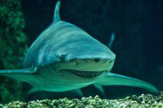 negaprion brevirostris - Lemon shark