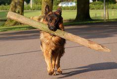 german shepherd and big stick