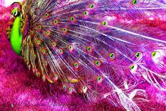 this is my kind of peacock!!