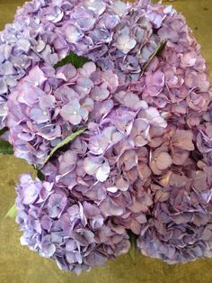 Hydrangea Magical Aquarelle...Sold in bunches of 10 stems from the Flowermonger…