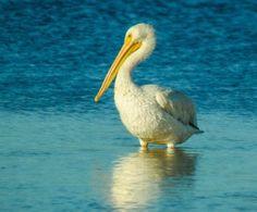 White-Pelican-by-Patty-MacInnis-e1447968344438.jpg 640×530 pixels