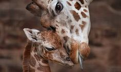 """Keepers at Chester Zoo are celebrating """"the best Christmas gift they could have wished for"""" following the birth of a rare Rothschild's giraffe calf (3)"""
