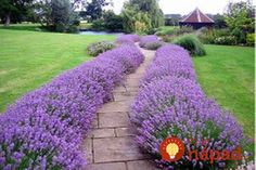 Lavender Hidcote - This easy-to-grow sun perennial thrives in full sun normal garden soil. Plants vigorously grow to form mounds of fragrant, silvery foliage 18 tall 24 wide. This drought-tolerant hardy perennial has extremely fragrant foliage by letitia Garden Shrubs, Garden Soil, Garden Care, Garden Plants, Shade Garden, Herb Garden, Potager Garden, Garden Edging, Easy Garden