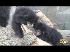 Brookfield Zoo's Sloth Bear Cub Debut