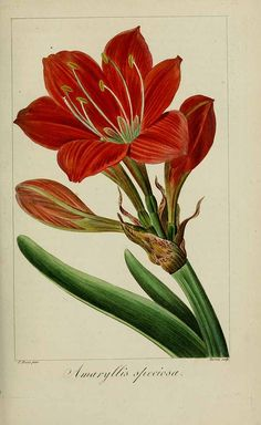 Cyrtanthus elatus (Jacq.) Traub [as Amaryllis speciosa (L.f.) L'Hérit.] scarborough lily Mordant De Launay, F., Loiseleur-Deslongchamps, J.L.A., Herbier général de l'amateur, vol. 7: t. 495 (1817-1827) [P. Bessa]