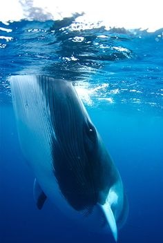 Minke whale (saw one in Alaska while on a whale cruise--supposedly they are rare…