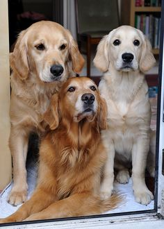 Love of Goldens. How cute are these three?