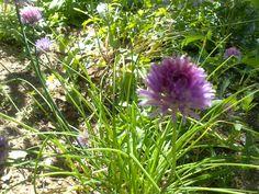 Flor de Cibulet (Allium schoenoprasum) També conegut com a Cebollí, Porradell, Coboulet...  Les seves fulles tenen un sabor delicat semblant al de la ceba i s'usen molt en la cuina, especialment en ous i formatges, en amanides i com a guarniment.  From: Ca n'Aladesa - www.canaladesa.com date: June, 2th, 2013 photo by: Glòria Aladesa
