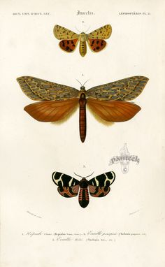 D'Orbigny Butterfly and Moth Prints. Dictionnaire Universel d'Histoire Naturelle 1849