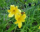 """Flower of daylily named Golden Chimes. 38"""" scape. Early-mid season. D. $8"""