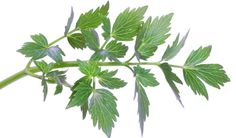 Bylinkový speciál: Libeček lékařský - Vitalia.cz Herb Garden, Home And Garden, Korn, Deodorant, Life Is Good, Plant Leaves, Herbs, Gardening, Health