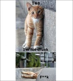 Drunk Cat LOL