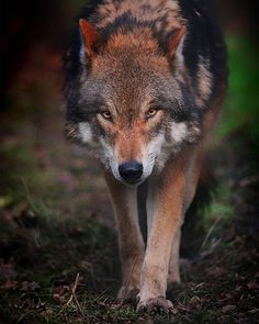 Wolf by can find Red wolves and more on our website.Wolf by Wolf Spirit, Spirit Animal, Wolf World, Alpha Wolf, Wolf Photography, Wolf Love, Wolf Pictures, Beautiful Wolves, Wild Creatures