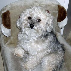 ... yorkie-poo (a cross between a Yorkshire terrier and a Poodle) More