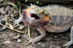This beginner's guide will help lay down the foundation that is needed for owning a bearded dragon. Bearded dragons are arguably one of the easiest lizards to care for as a pet. German Giant Bearded Dragon, Bearded Dragon Funny, Bearded Dragon Diet, Dragon Names, Pet Dragon, Dragon Pics, Baby Dragon, Les Reptiles, Reptiles And Amphibians