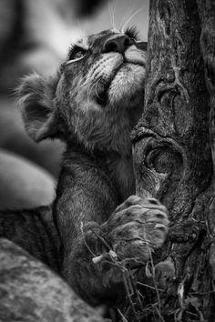 'I wonder? Cute Creatures, Beautiful Creatures, Animals Beautiful, Animals Images, Animal Pictures, Wild Life, Big Cats, Cute Cats, Lion Photography