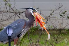Bennu, the Resident Great Blue Heron, Catches Our Koi Pictures Of The Week, Blue Heron, Koi, Backyard, Yard