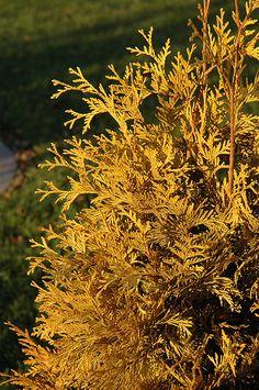 Find Yellow Ribbon Arborvitae (Thuja occidentalis 'Yellow Ribbon') in Inver Grove Heights, Minnesota (MN) at Gertens (Eastern White Cedar) Evergreen Shrubs, Trees And Shrubs, Inver Grove Heights, Low Maintenance Shrubs, Thuja Occidentalis, Full Size Photo, White Cedar, Cedar Trees, Types Of Soil