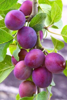 Plum Fruit, Fruit And Veg, Fruits And Vegetables, Fresh Fruit, Fruit Plants, Fruit Garden, Fruit Trees, Trees To Plant, Vegetables Photography