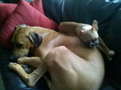 Bacchus and Gerdie <3  Rhodesian Ridgeback and Fawn Boston Terrier