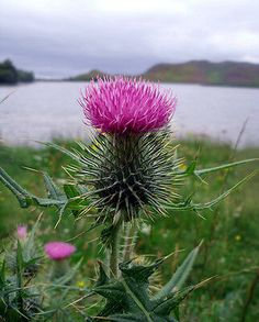 The Flower of Scotland. A Scottish Thistle at Loch Tarff - South Loch Ness - Inverness Scotland Outlander, Thistle Seed, Thinking Day, Scottish Highlands, Scotland Travel, British Isles, Wild Flowers, Purple Flowers, Beautiful Flowers