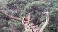 One of the best places you can see in Australia is Philip Island located in the the southeastern part of Victoria. Melbourne Trip, Cosy Corner, Red Panda, The Good Place, Surfing, Australia, Island, Red Pandas, Surf