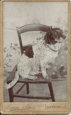 c.1900 cdv of dog sitting in chair. Dog's name on verso, written in ink-dipped pen: Linne. Photo by Bruno Urban, Ladenburg, Germany. From bendale collection
