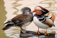 canard mandarin kisses