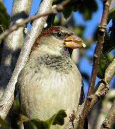 A House Sparrow Having a Snack by KoolPix, via Flickr
