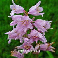 Image result for pink bluebells hyacinths
